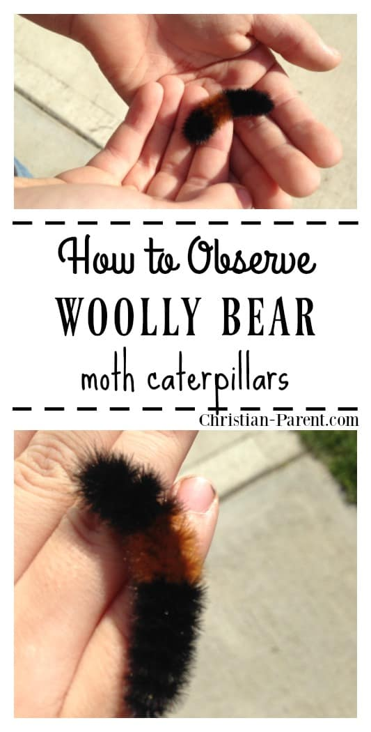 How to observe woolly bear moth caterpillars. Fun educational nature activity for kids of all ages.
